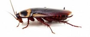 dedetização de baratas